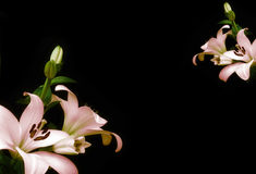 Lilium frame over black Royalty Free Stock Photography