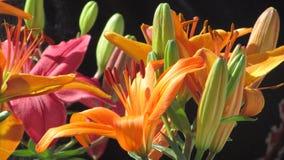 Lilium geblüht lizenzfreie stockfotografie