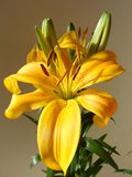 Lilium kwiat Obrazy Stock