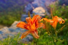 Lilium kwiat w ogródzie, zamyka w górę widoku Fotografia Stock