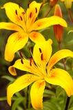 Lilium lancifolium Royalty Free Stock Images