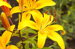 Lilium lancifolium Royalty Free Stock Photos