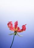 Lilium leichtlinii flower. Close up of  Lilium leichtlinii flower Royalty Free Stock Photo