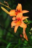 lilium lelui pomarańcze Obraz Stock