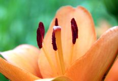 Lilium lily orange Royalty Free Stock Photo