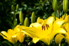 Lilium maculatum Stock Photography