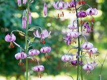 Lilium martagon Royalty-vrije Stock Afbeeldingen
