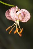 Lilium martagon Stock Photo