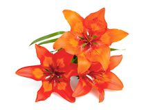 Lilium martagon Stock Photography