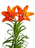 Lilium martagon Royalty Free Stock Image