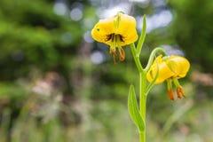 Lilium martagon Stock Foto's