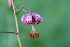 The pink martagon lily on clear green background royalty free stock images