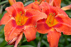 Lilium Stock Photography