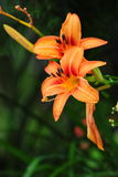 Lilium orange de lis Image stock