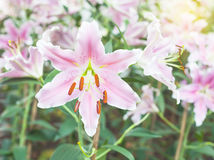 Lilium oriental or Stargazer, Stock Photo