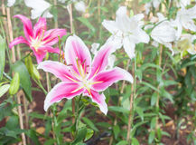 Lilium oriental or Stargazer, Royalty Free Stock Photo