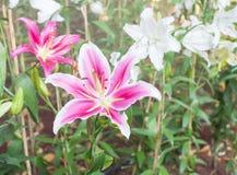 Lilium oriental or Stargazer, Royalty Free Stock Photo
