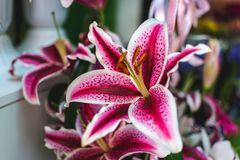 Lilium orientalis Stargazer. Stargazer Lily background. Lilium orientalis Stargazer. Oriental Lily Stargazer is famous for its vibrant pink spotted flowers. It stock photos