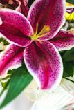 Lilium orientalis Stargazer. Stargazer Lily background. Lilium orientalis Stargazer. Oriental Lily Stargazer is famous for its vibrant pink spotted flowers. It stock photography