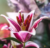 Lilium orientalis Stargazer. Stargazer Lily background. Lilium orientalis Stargazer. Oriental Lily Stargazer is famous for its vibrant pink spotted flowers. It royalty free stock image