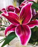 Lilium orientalis Stargazer. Stargazer Lily background. Lilium orientalis Stargazer. Oriental Lily Stargazer is famous for its vibrant pink spotted flowers. It stock images