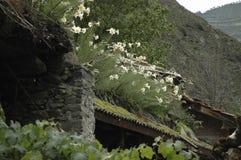 Lilium regale Stock Photo