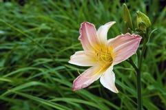 Lilium rosado blanco Fotos de archivo libres de regalías