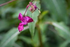 Lilium-roze bloem op vage achtergrond Selectieve nadruk Bloem in de vorm van een hart stock foto