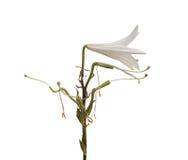 Lilium som är candidum på en vit bakgrund Arkivfoto