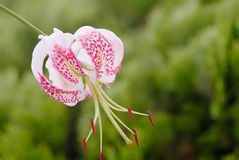 Lilium speciosum Sorten gloriosoides Stockfoto