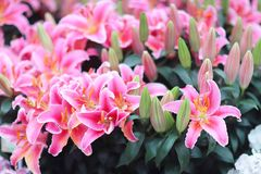 a Lilium spp is blooming in the garden stock image