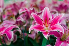 Lilium spp is a beautiful and expensive flower. Lilium spp has a large, elegant and very beautiful. Some species have very fragrant flowers that are considered Royalty Free Stock Photos