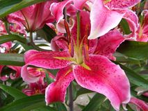 Lilium Stargazer. Bright pink Stargazer lilies contrast with the dark green of their foliage. Pink Stargazers symbolize wealth and prosperity. The showy Stock Photography