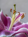 Lilium, the Stargazer lily Stock Photos