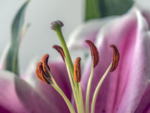 Lilium, the Stargazer lily. Is a hybrid lily of the Oriental group Royalty Free Stock Photography