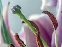 Lilium, the Stargazer lily Royalty Free Stock Photos