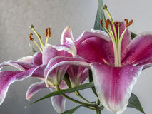 Lilium, the Stargazer lily Royalty Free Stock Images
