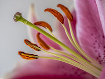 Lilium, the Stargazer lily Royalty Free Stock Image