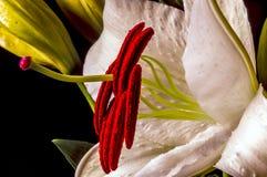 Lilium, the Stargazer lily Stock Photo
