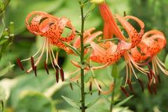 Lilium tigrinum lancifolium Royalty Free Stock Photo