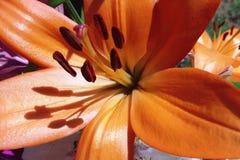 Lilium twee Royalty-vrije Stock Afbeelding