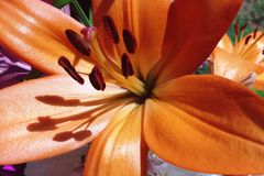 Lilium two Royalty Free Stock Image