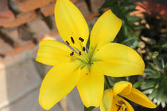 Lilium, yellow Lily Stock Images