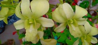 Liliumbloem van Sri Lanka royalty-vrije stock foto's