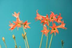 Liliumblommor arkivbild