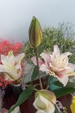 Liliumbrownii var viridulum-snitt blomma Royaltyfri Bild