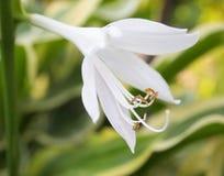liliumen undfägnar Arkivfoton