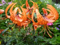 Liliumlancifolium royaltyfria foton