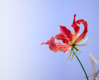 Liliumleichtliniiblomma royaltyfria foton