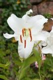 liliumlilja Royaltyfria Foton